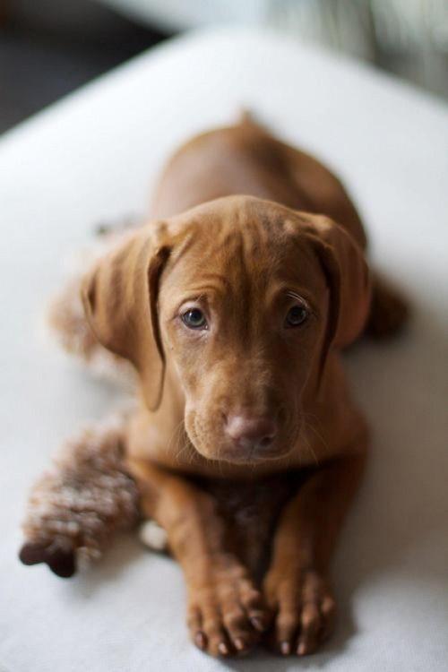 locaal:  recherchestetique:  sweet  Hungarian Vizsla puppy