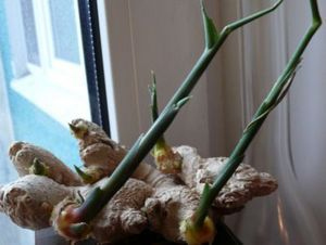 Имбирь: выращивание и уход в домашних условиях