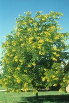 Gleditsia Triacanthos Sunburst Honey Locust Tree Outdoor Landscaping