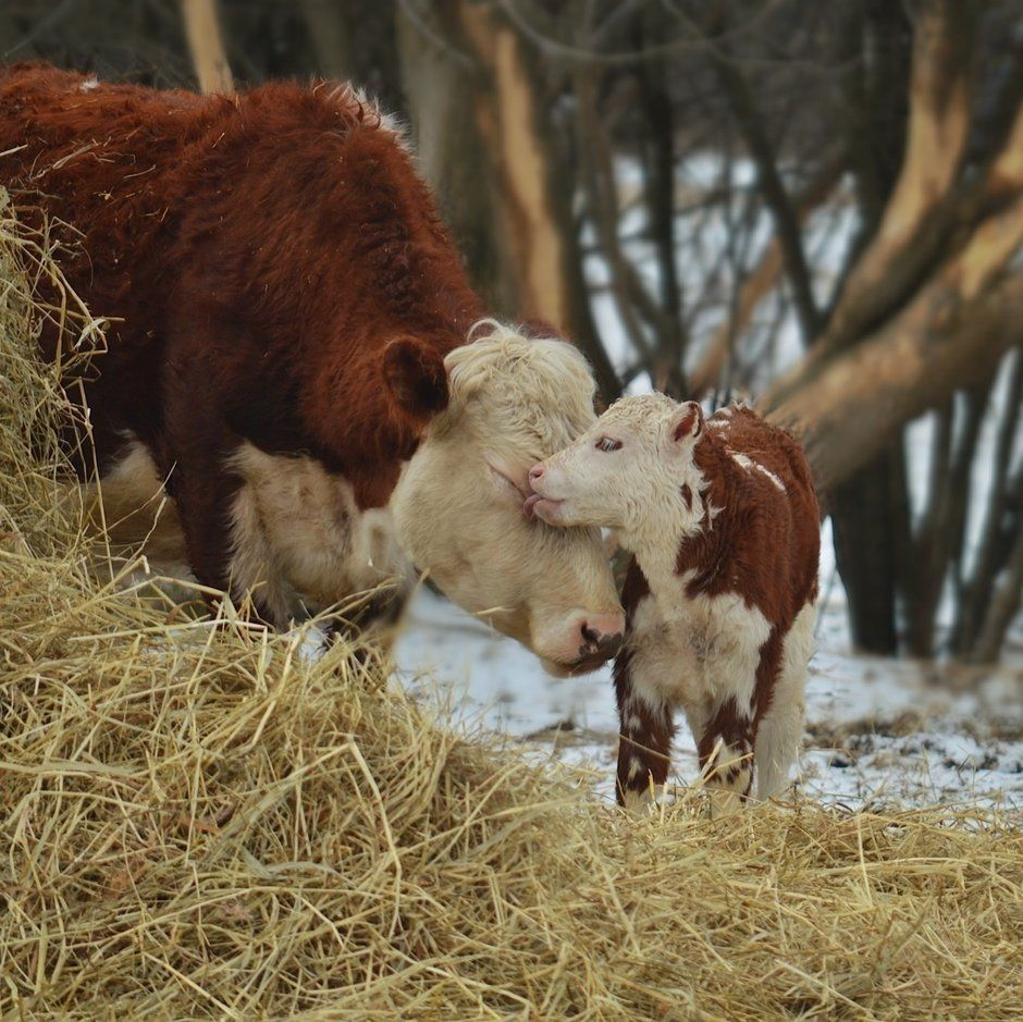 Cows Are Amongst The Gentlest Of Breathing Creatures None Show More Passionate Tenderness To Their Youngs Susse Tiere Kuhe Und Kalber Tierbabys