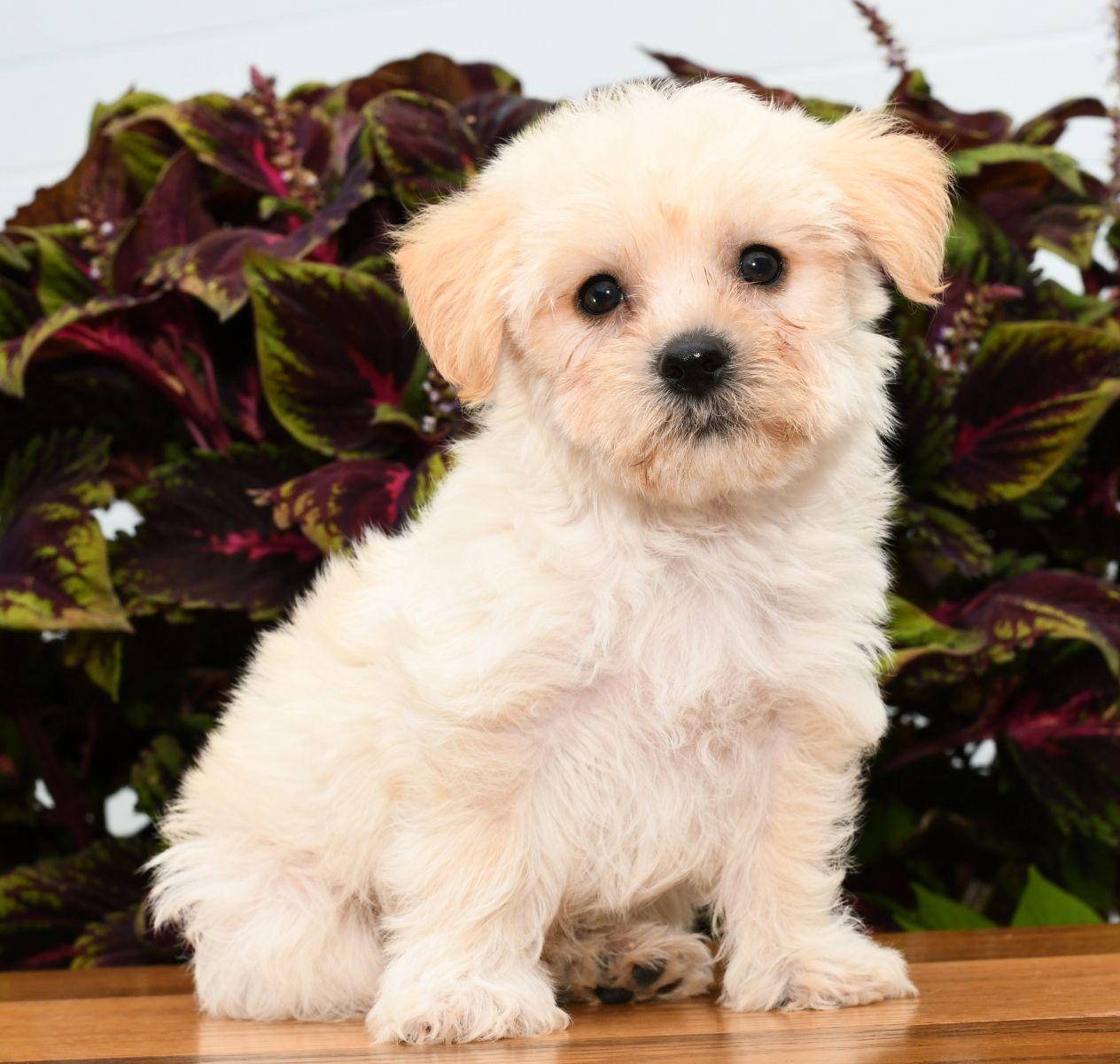 Quiet Yorkchon Dog Breeder Lancaster Puppies Puppy Adoption