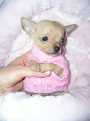Dallas Tx Teacup Puppies For Sale Houston Texas Teacup Puppies For Sale Teacup Puppies Teacup Chihuahua Puppies
