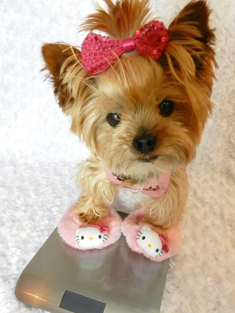 A yorkie in hello kitty slippers cute yorkshireterrier