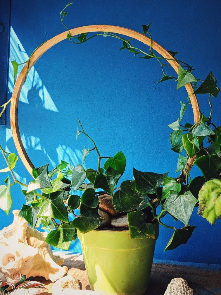 English Ivy Garden Projects Indoor Plants English Ivy 400 x 300