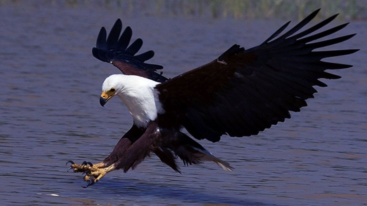american eagle nat geo wild animals discovery wildlife hd 720p