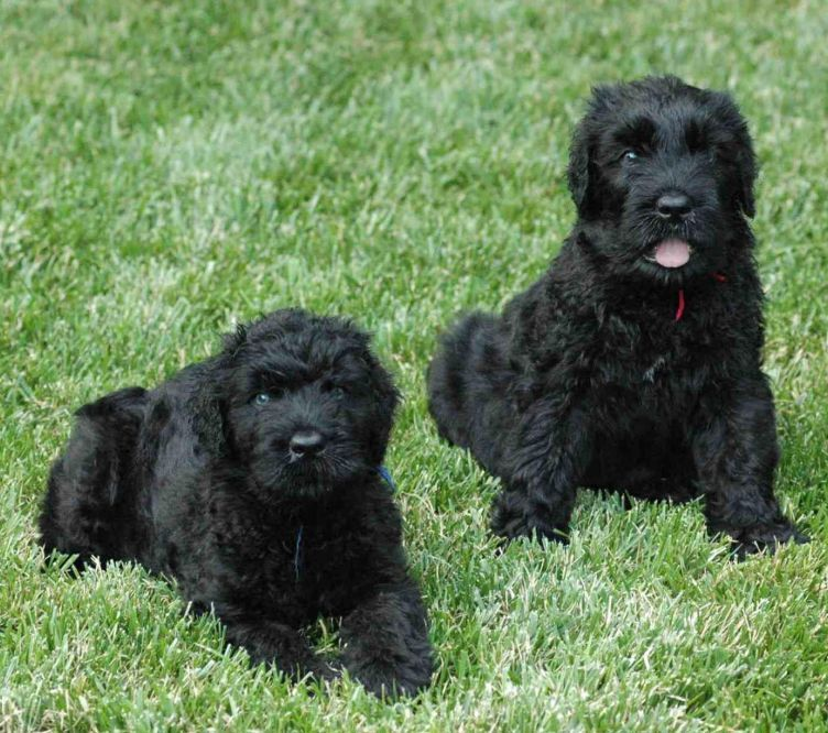 Black Russian Terriers Puppies One Lying Down Looks Exactly Like