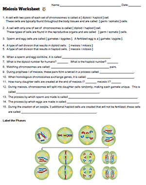 Meiosis Worksheet Mitosis, Somatic cell, Worksheets