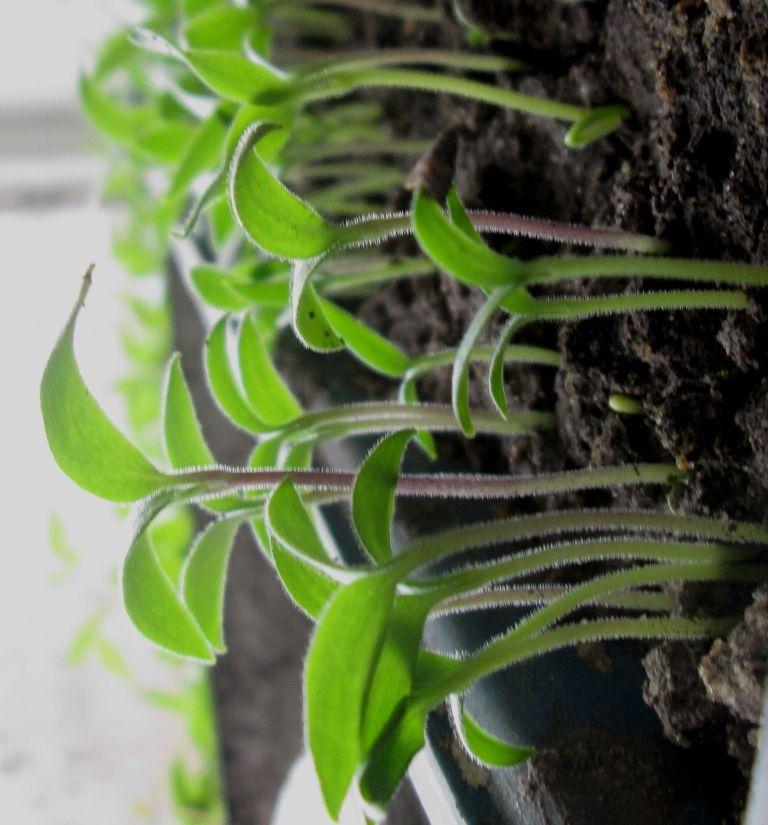 сколько дней всходят семена настурции