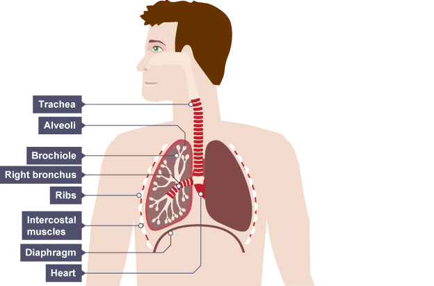 Breathing system diagram gcse explore schematic wiring diagram trachea is below throat and passes under the rib cage into lungs rh pinterest com closed breathing system is standard diagram of lungs respiratory system ccuart Images
