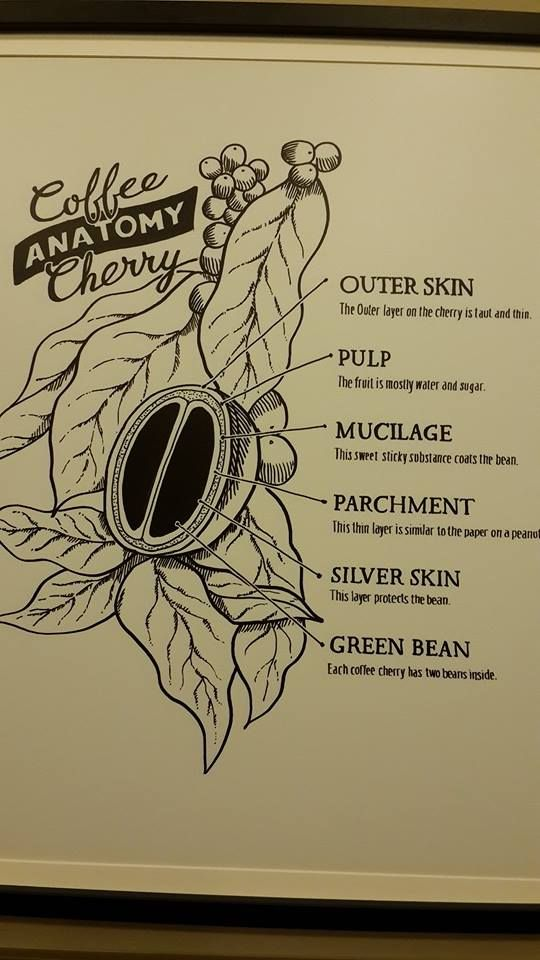 Anatomy of a Coffee Cherry | Magic Bean | Pinterest | Anatomy ...
