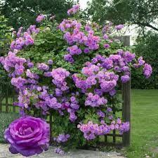 r sultat de recherche d 39 images pour rosier liane sans epine botanique pinterest creepers. Black Bedroom Furniture Sets. Home Design Ideas