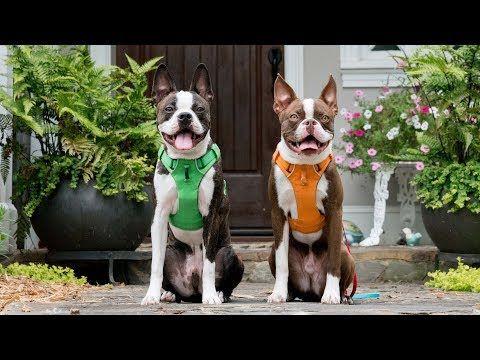 Youtube Boston Terrier Funny Boston Terrier Boston Terrier Illustration