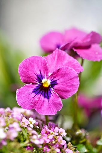 ✿ Pansy!! My favorite!