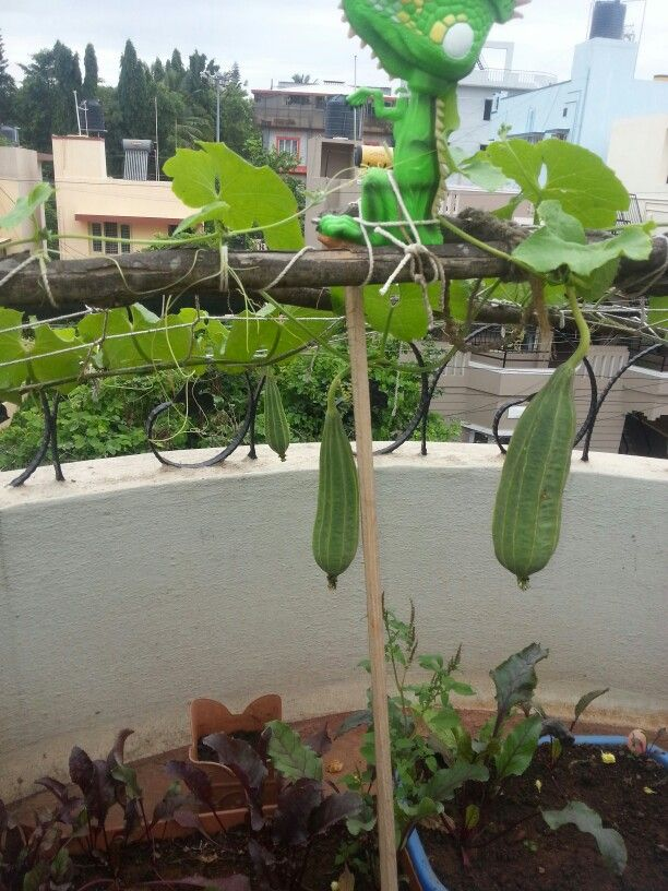 Ridge gourd terrace gardening indian homes for Terrace garden in india