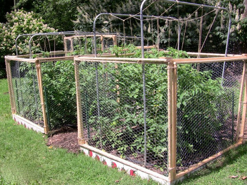 7 ways to keep squirrels from eating your tomatoes Tomato cage