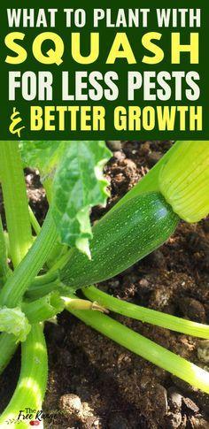 The Best Squash Companion Plants for Your Backyard Garden #veggiegardens