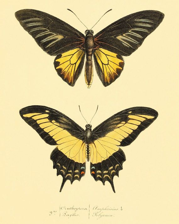 Yellow Butterfly art Print Vintage Nature art print Natural History ...