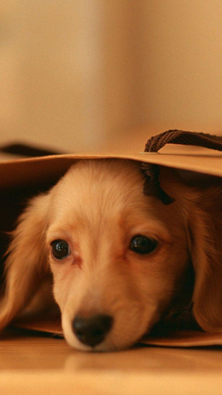 Wallpaper iphone dog - Miniature Dachshund Mini Dog Iphone 6 Wallpaper
