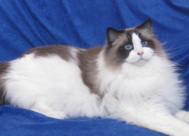 Himmy Snowshoe Ragdoll Best Cats In The World 3 My Belongs