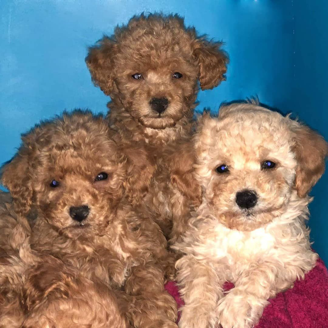 Toy Poodle Puppies For Sale In Kuwait Dogs And Puppies For Sale In Kuwait Pets For Sale Online In Kuwait How To Toy Poodle Puppies Pets For Sale Dogs For Sale