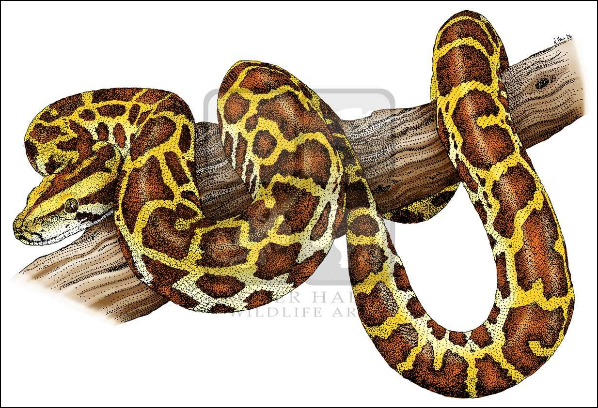 Image Result For Snake Drawing Colour Snake Drawing Burmese Python Python Drawing