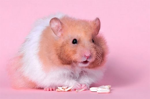 A 30 Cute And Adorable Hamster Photography Collection Naldz Graphics Hamster Wallpaper Cute Hamsters Hamster
