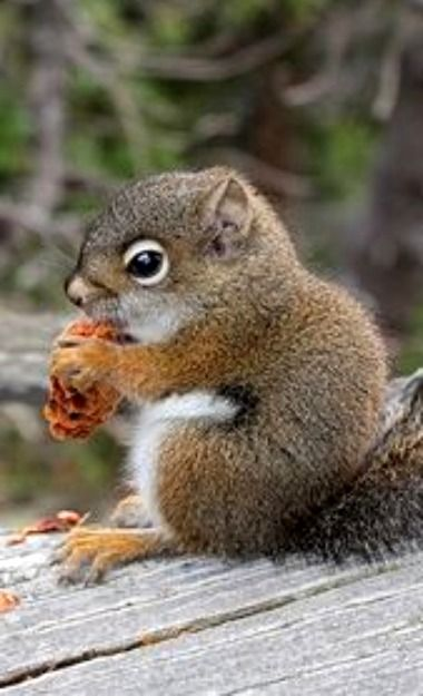 American Red Squirrel With Pine Cone Squirrel Ground Squirrel Animals