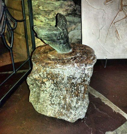 A megalodon tooth stuck in a whale vertebrae. Possibly the most ...