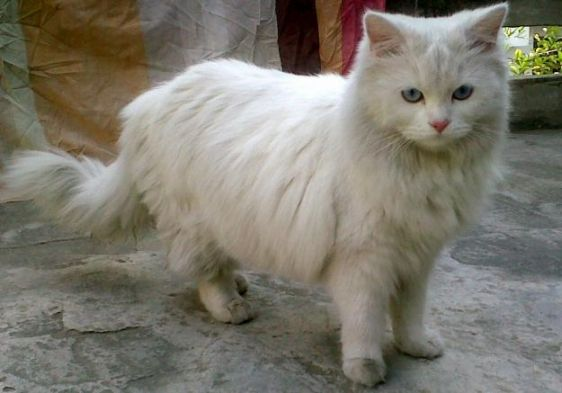 I Also Want My Next Cat To Be White With Blue Eyes Loveeeee 3 Persian Cats For Sale Cats For Sale Persian Cat