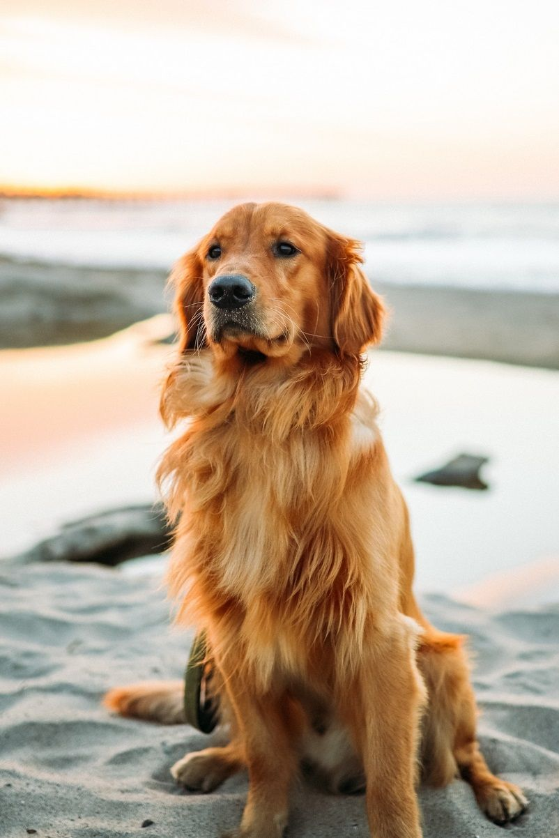 Golden Retriever Dog Wallpapers Pictures Dogs Dogswallpapers