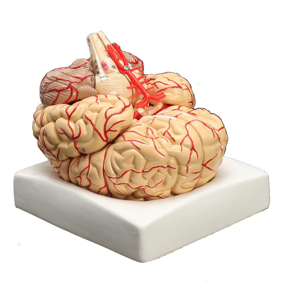 Desarmado Modelo de Cerebro Humano Médico Tamaño natural Arterias ...