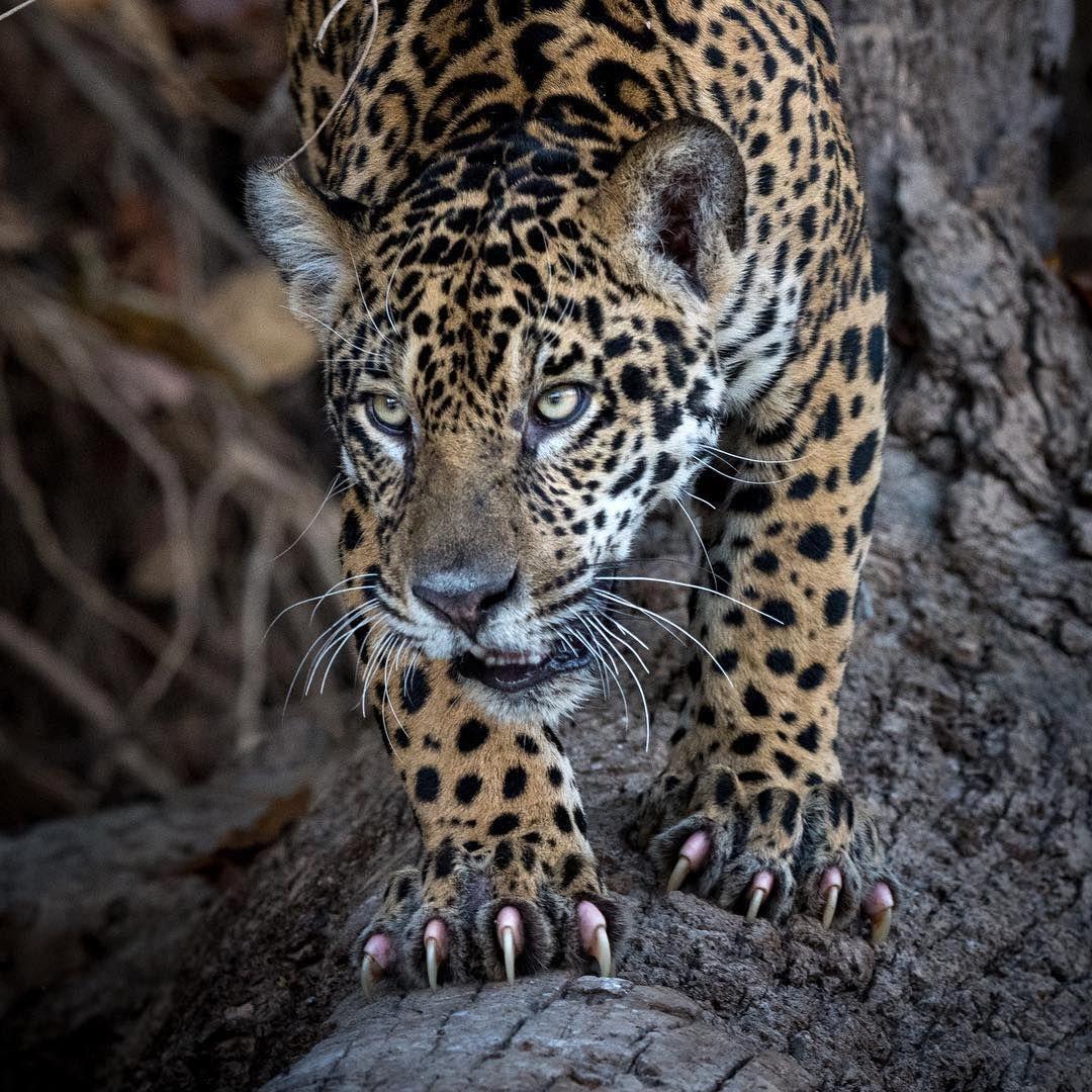 Ranking Nature Good Nature Worldwide Birds Nature Shots Naturealaska Natureaddicts Photographer Naturephotography Animals Beautiful Wild Cats Big Cats