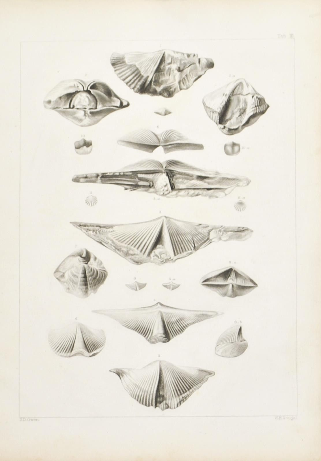 Spirifers Orthis and Strophodonta from the Shell-Beds of the Iowa and Cedar Rivers Belonging to the Devonian Period Issued 1852 Philadelphia Lippincott Grambo & Co Illustrations to the Geological Repo