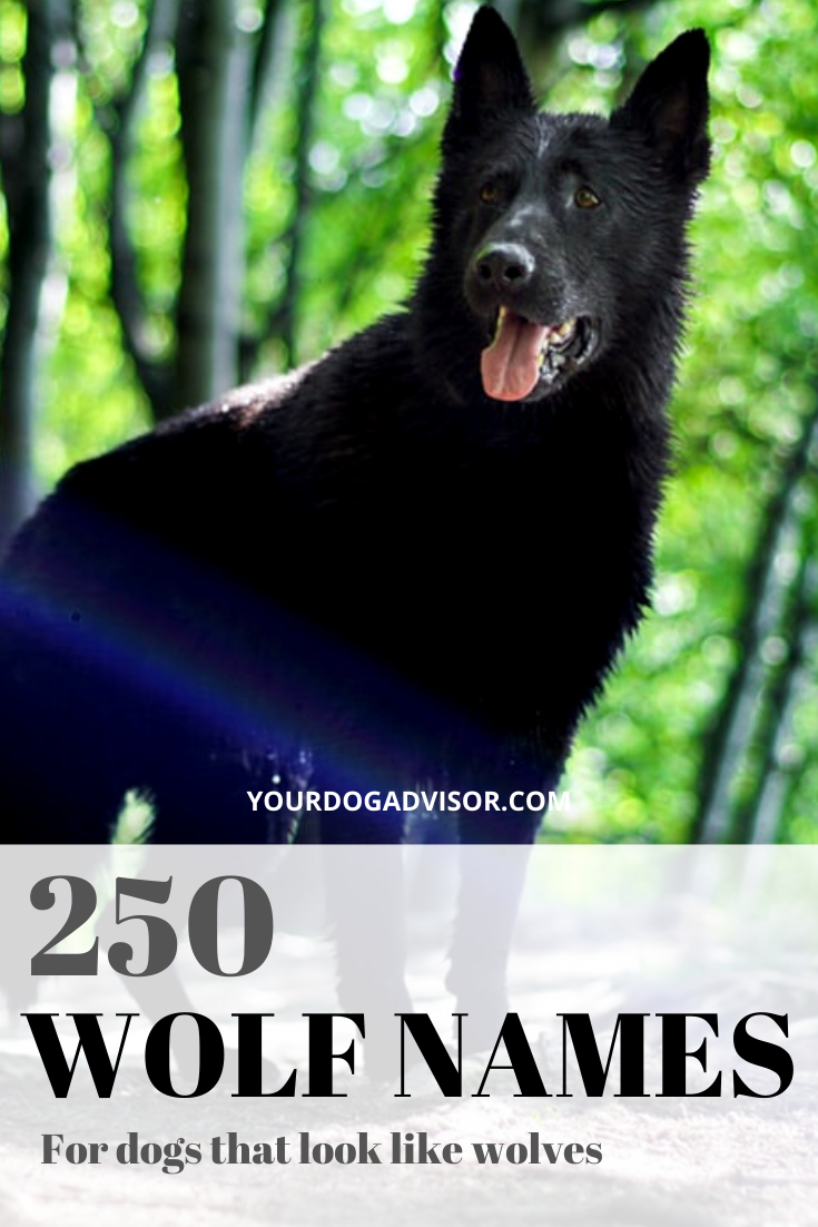 250 Wolf Names For Dogs That Look Like Wolves in 2020