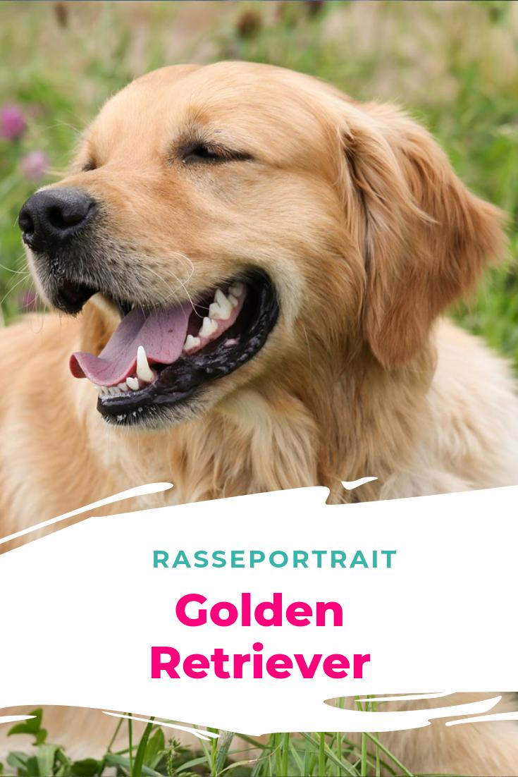 Rasseportrait Golden Retriever Hunde Rassen Hunderassen Golden Retriever