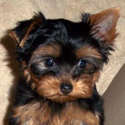 Yorkie Madison Yorkie Puppy For Sale Yorkie Puppy Yorkie
