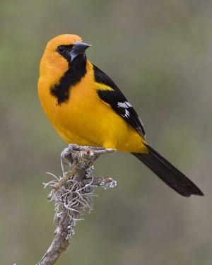 Altamira Oriole Robin Sized Bright Orange Yellow W Black Face