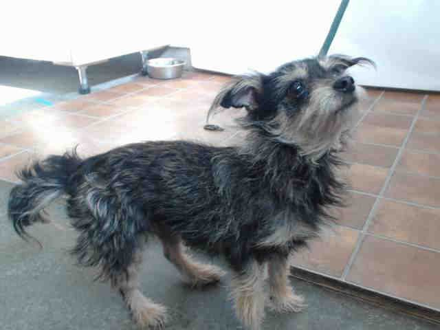 I Am An Unaltered Female Black And Tan Cairn Terrier If I Am