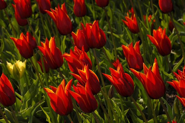 tulip 'Queen of Sheba'
