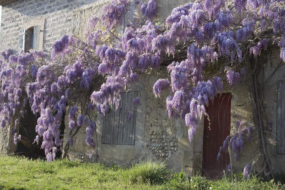 Landscape Uses And Cautions Regarding Chinese Wisteria Wisteria Plant Japanese Plants Wisteria Garden