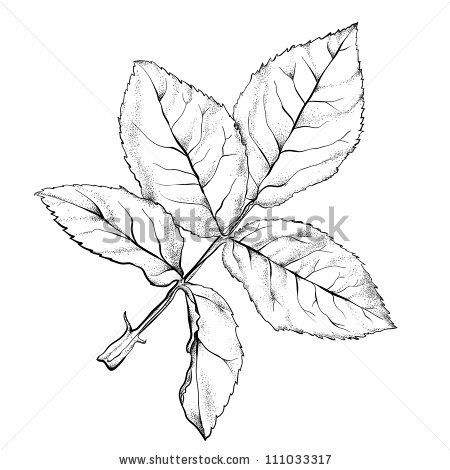 Highly Detailed Hand Drawn Rose S Leaves Roses Drawing How To Draw Hands Leaf Drawing