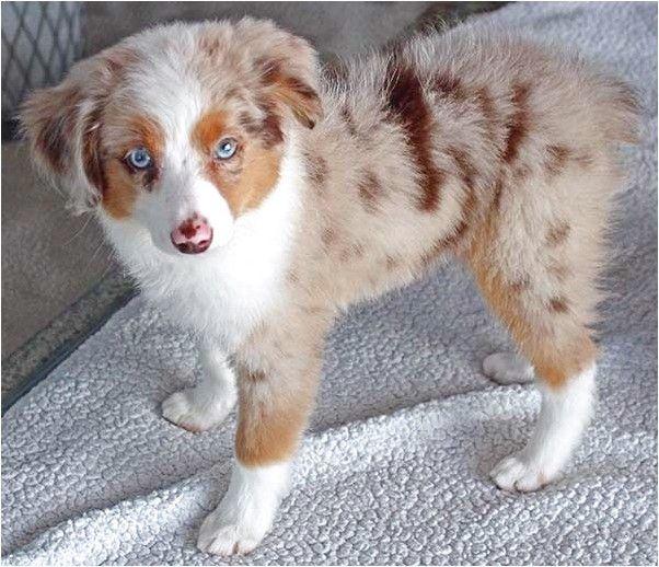 German Shepherd Husky Mix Puppies For Sale In Tn Pet German