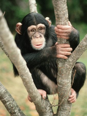 In a tree | Chimpanzee, Baby chimpanzee, Chimp