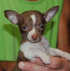 Adopt Teko On Baby Chihuahua Chihuahua Dogs Chihuahua