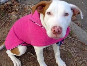 SUGAR is an adoptable Pit Bull Terrier Dog in New York, NY. A volunteer writes: Sugar, little girl, aptly named as she is as sweet as can be in her caramel and white color coat. I kept thinking vanill...