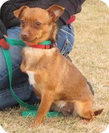 Wenatchee, WA - Chihuahua Mix. Meet Paprika a Dog for Adoption.