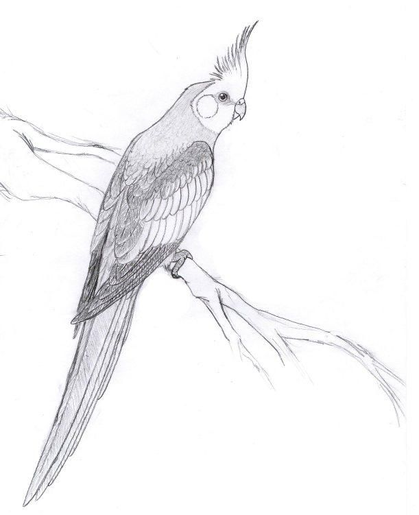 Cockatiel By Dorini Bird Drawings Animal Drawings Cockatiel