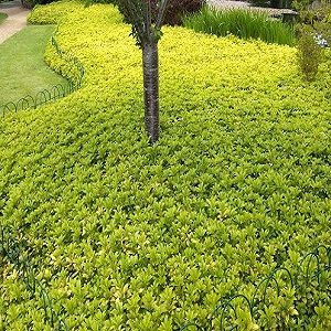 Ground cover plants are interesting alternatives to grass for Landscaping ground cover plants