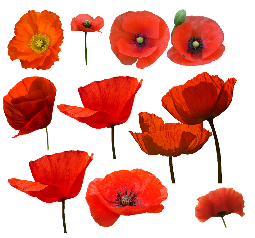 15f0a9469e29c9e25c9bbaa1319fce9a Jpg 821 768 Poppy Flower Painting Poppy Flower Art Poppy Painting