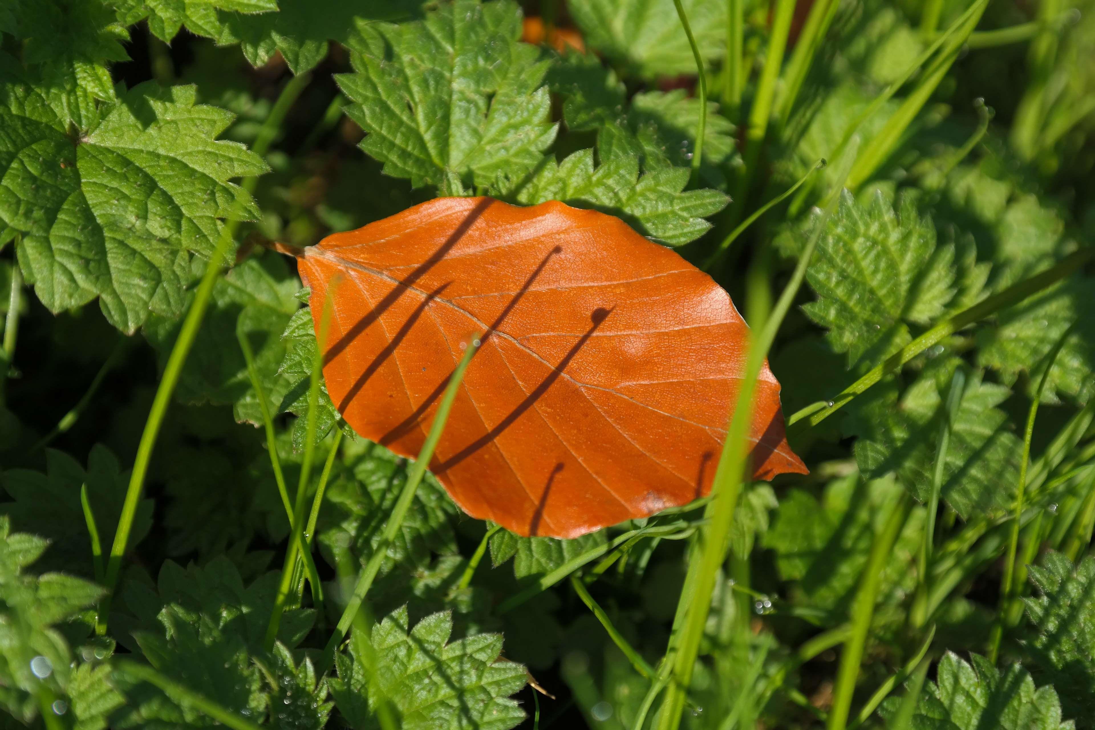 autumn #beech #beech leaf #brown #fagus #fagus sylvatica #fall color ...